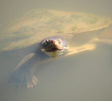 Murray River Turtle (Emydura macquarii) - Wittunga Botanic Garden, SA by Dan & Emma Monceaux