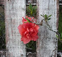 Fading Red Azalea by scholara