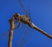 Dragonfly 1 by PhotoShopping