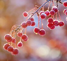 Winter Crab Apples by lorilee