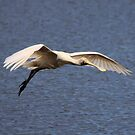 Yellow Spoonbill in flight by Kym Bradley