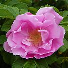 Pink Rose in Full Bloom by mussermd