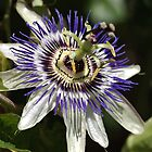 Flower-Passion fruit  by Joy Watson
