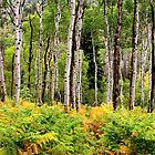 Autumn Aspens by Henry Huettel