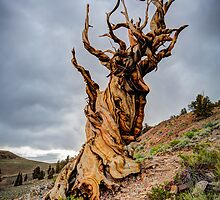 Bristlecone Pine tree - Oldest twisted tree by Jerome Obille