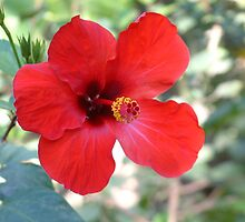 Hibiscus from Tunisia by Maire Morrissey-Cummins