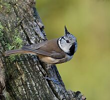 Crested tit - V by Peter Wiggerman