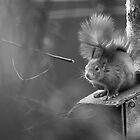 Red Squirrel by ChrisMillsPhoto