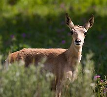 Pronghorn Fawn in Wildflowers by cavaroc