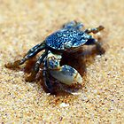 little blue crab by geophotographic