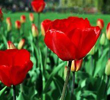 Red tulips. by LudaNayvelt