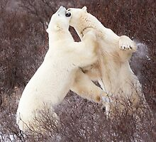 Sparring Polar Bears by cavaroc