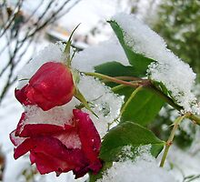 Rose in December by Ana Belaj