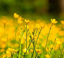 Buttercup Fields by Scott  Hafer