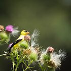 American Goldfinch On Thistle by Thomas Young