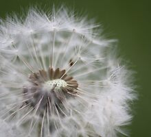 Dandelion seeds by Martin Attfield