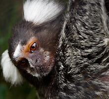 Cotton Eared Marmoset by rukuu