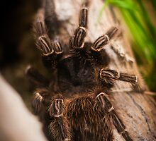 Penny the Spider by PlumePhotograph