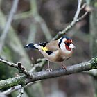 A Goldfinch In Our Apple Tree by Jazzdenski