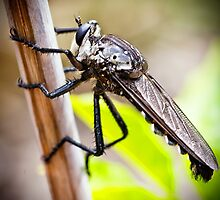 Predatory Giant Robber Fly, by Paul Amyes