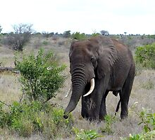 I Hear The African Continent - Elephant - Kruger National Park by AndreaEL