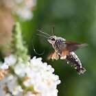 Hummingbird Hawkmoth by Christopher Cullen