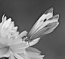 Cabbage White Butterfly on Cosmos - Black and White by MotherNature2