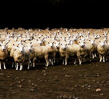 Photo Shooting of 2000 Sheeps by Angelika  Vogel