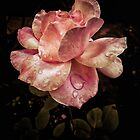 Rose petals with raindrops by Silvia Ganora