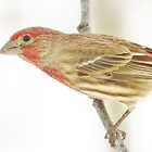 Rosy House Finch by lorilee