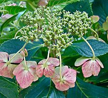 Hydrangea With A New Look by MotherNature2
