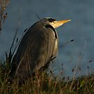 Grey Heron by Jon Lees