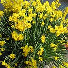 Heralds of Spring - Keukenhof Daffodil Display by MidnightMelody