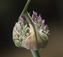 flower-garlic-bud by Joy Watson