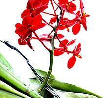 red orchid  by noegrr