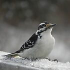 Male Downey Woodpecker on Ice Crystals by Martha Medford