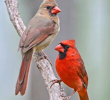 My Cardinal Neighbors by Bonnie T.  Barry