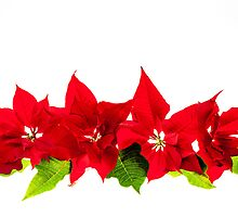 Arrangement with Christmas poinsettias by Elena Elisseeva