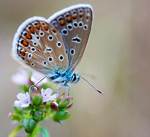 Common blue butterfly by nadeget