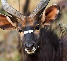 Nyala Bull by vivsworld
