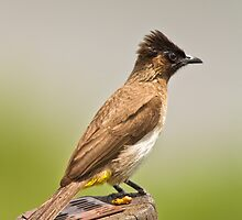 Black Capped Bulbul by vivsworld