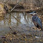 Great Blue Heron Fishing in a Creek by barnsis