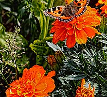 The Small Tortoiseshell Butterfly on a Marigold by Avril Harris