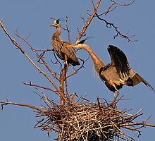 Great Blue Heron Nest by Heron-Images