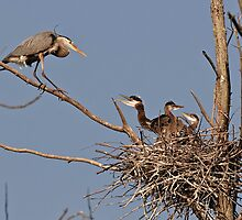 Great Blue Heron And Chicks by Heron-Images