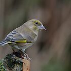 Male Greenfinch by Peter Wiggerman