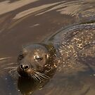 Grey seal by Jon Lees