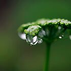 Raindrops on Parsley by Clare Colins
