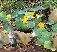 Farm talk - There are chicks in my Nasturtiums! by Maree  Clarkson