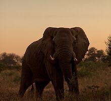 Bull Elephant at Dusk by raredevice